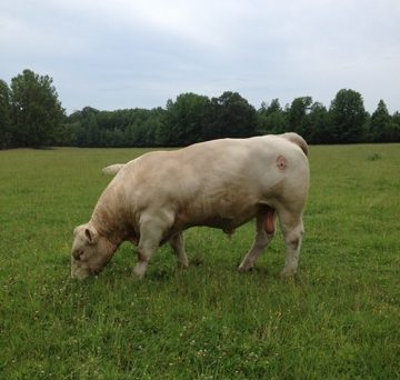 raintree-charolais-arkansas